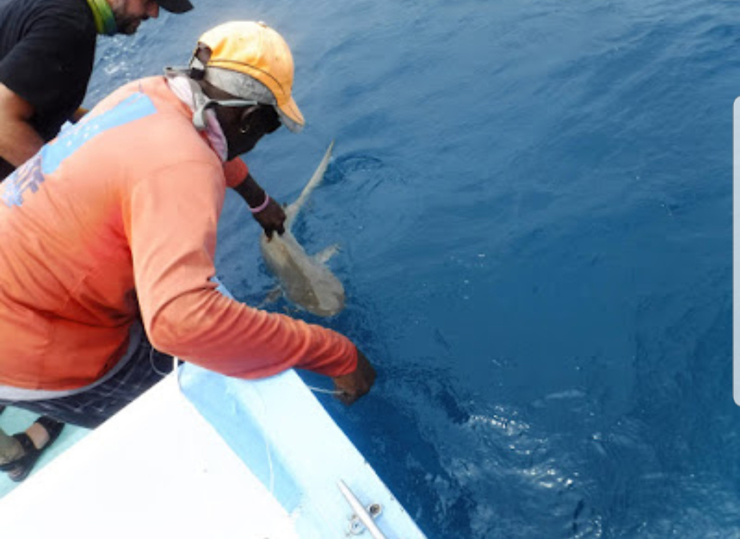 Shark and Ray Conservation in Belize.