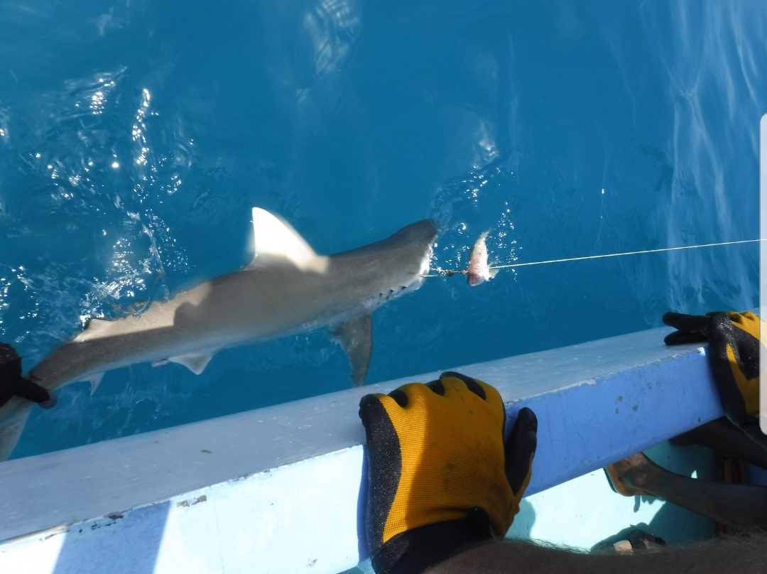 Shark hooked next to their boat.